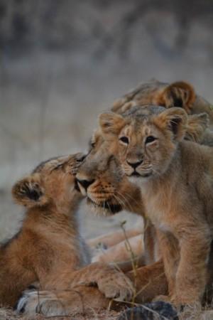 lion cubs lanagdi pride sasan gir