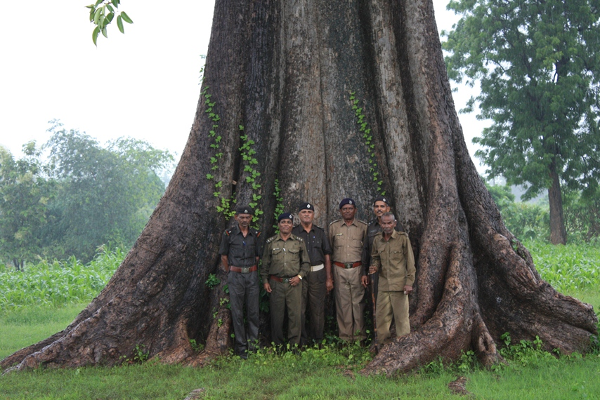 largest semal tree_onforest