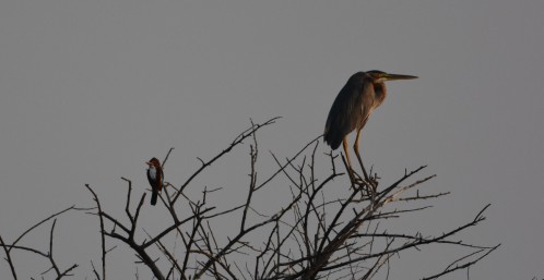 Kingfisher with Grey Heron