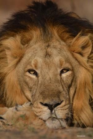 Asiatic Lion, Devaliya