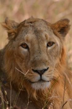 Juvenile Asiatic Lion