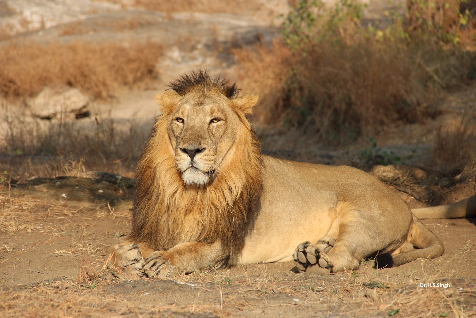 the asiatic lion Asiatic lion species facts, conservation information and news asiatic lions of gujarat, india asian lion research and reports, videos, pictures.