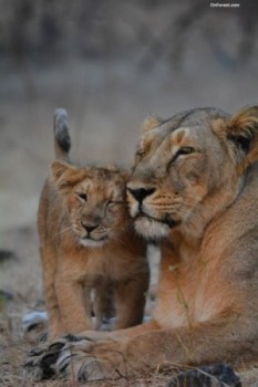 Lion cub_sasan gir