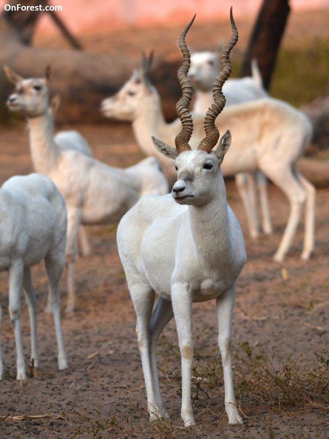 Rare White Albino Blackbuck_OnForest.com