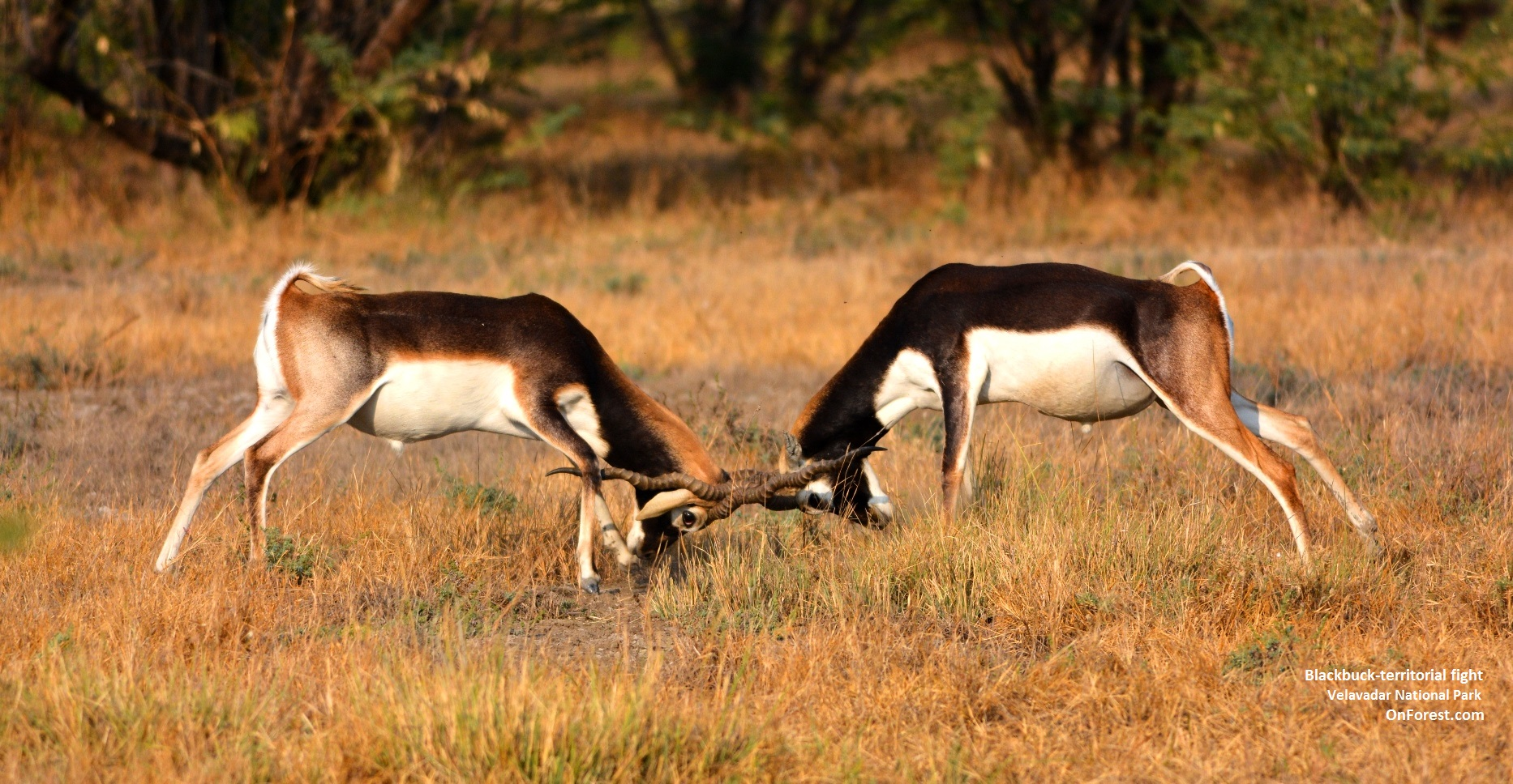Blackbuck territorial fight, Velavadar National Park