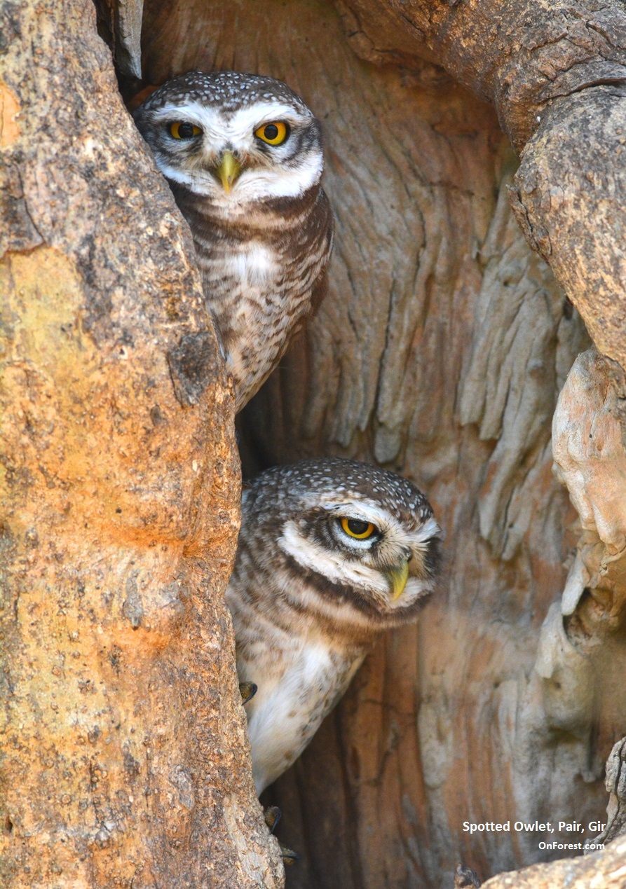 spotted owlet_pair