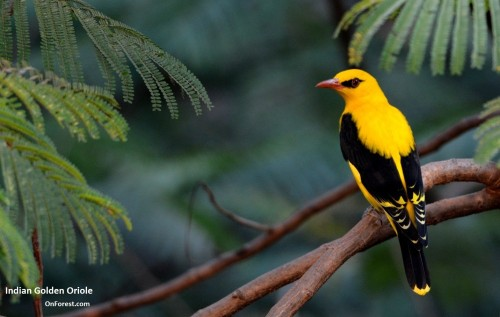 Indian Golden Oriole, Male