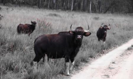 An-Adult-Indian-Bison-Gaur-Bull