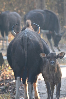 New Born Gaur Biosn