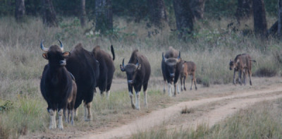 Gaur-Pride-Family with Young Ones